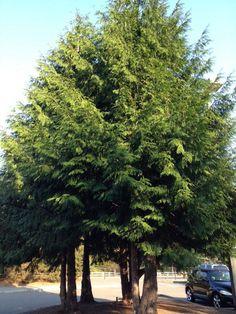 Incense Cedar Tree Incense Cedar Calocedrus Decurrens