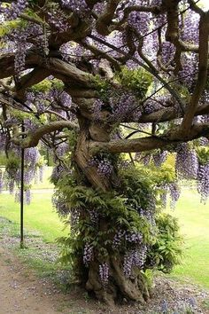 *want** Wisteria Tree. Just stake your Wisteria & keep it pruned back each year. The vine will eventually grow into a tree. I'd estimate this Wisteria tree to be over 20 years old. Wisteria Tree, Purple Wisteria, Wisteria Garden, Chinese Wisteria, Garden Plants, The Secret Garden, Unique Trees, Dream Garden, Amazing Nature