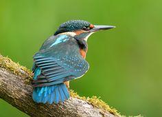Nu ik even terug in België ben kon ik het niet laten om even te kijken of de IJsvogel nog op zijn vertrouwde plaats zat . Het werd een blij weerzien en hij toonde me zijn mooiste tinten blauw .