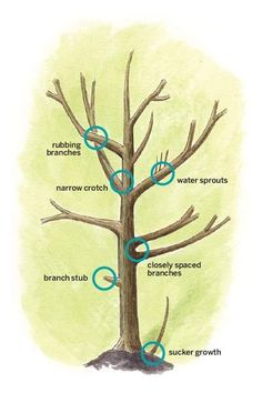 About Shade Trees Young trees call for different pruning techniques than more established ones. Learn the ropes here. Pruning Plants, Bonsai Pruning, Pruning Fruit Trees, Tree Pruning, Trees To Plant, Garden Trees, Lawn And Garden, Bonsai Tree Care, Tree Felling