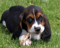 Cute Black Basset Hound Puppies Photos