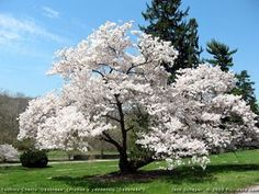'Akebono' or 'Daybreak' Yoshino cherry around 25' with a rounded spreading growth habit white/pink flowers in early spring