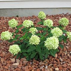 Hydrangeas lime colors positively glow ~ this one is Little Lime, a hardy dwarf that's easy to grow and the big flowers stay true to their color. Hydrangea Paniculata, Dwarf Hydrangea, Little Lime Hydrangea, Order Plants Online, Hardy Plants, Big Flowers, Shrubs, Outdoor Gardens, Exotic