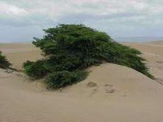 Cují (Prosopis juliflora). Estado Falcón.