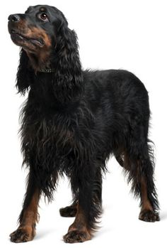 Gordon Setter - saw these babies in action this last weekend and they are beautiful AND smart.  Want one when I retire.