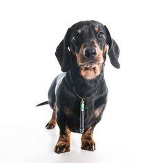 @dexter_dachshund modelling FHH Cigarette Charm Necklace