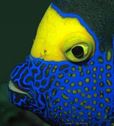 bluefaced angelfish. S)