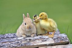 Adorable: This cute baby rabbit and two fluffy ducklings don't seem to think three is a crowd as they relax together on a pile of wood