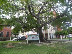 Huge Kapok tree