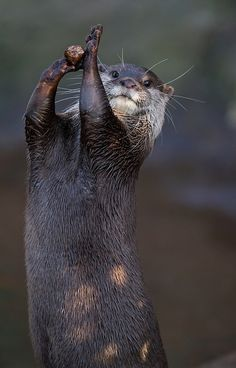 And the otters call a time out!
