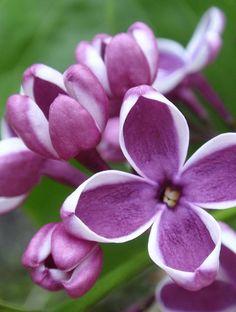 Sering snoeien - Voor een uitbundige bloei!