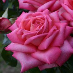 ~Rose Wedding bells