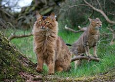 Show us the Way - Somali cat