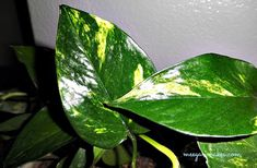 Clean house plant leaves with MILK!  Put a dab on paper towel - wipe both sides of leaves..stays shiny for up to 6 months!