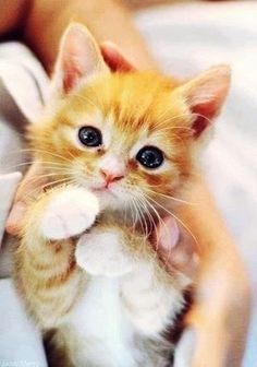 Orange Kittens, Cute Cats And Kittens, I Love Cats, Crazy Cats, Kittens Cutest, Fluffy Kittens, Ragdoll Kittens, Bengal Cats, White Kittens