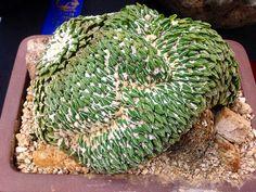 Pelecyphora