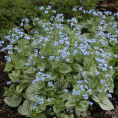 2012 - Brunnera macrophylla 'Jack Frost'