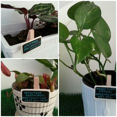 Because every plant has different needs, a small tag helps to remind me what I should do with it. Money Plant, Balcony, Gardening, Plants, House Porch, Garten, Balconies, Lawn And Garden, Planters