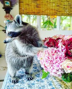 Momma I brought you some flowers! Tag someone you want Pumpkin to bring flowers to! #pumpkintheraccoon #raccoon #weeklyfluff #raccoonsofinstagram #instagood #instagram #instadaily #pet #love #photooftheday #flowers