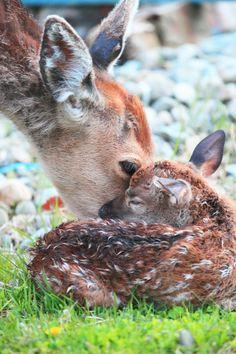 Bambi and Mom Mundo Animal, My Animal, Cute Baby Animals, Animals And Pets, Beautiful Creatures, Animals Beautiful, Deer Family, Tier Fotos, Pet Birds