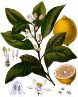 Botanische tekening citroen