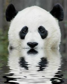 Panda bear with heart shaped nose, beautiful.