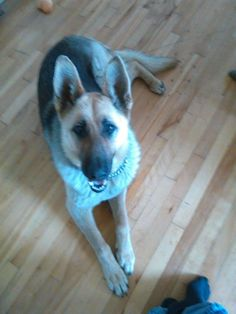 Meet URGENT ZYRA, a Petfinder adoptable German Shepherd Dog Dog | Martintown, ON | URGENT WE HAVE A TRANSPORT THIS MONDAY WE ARE FULL WE DO NOT WANT TO LEAVE HER BEHIND she at the...