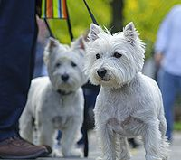 While visitng Central Park, we came across a dog fair. These two westies were at the top of the steps. The one in the front is a total mama's girl. The one in the background is more of a daddy's boy. He did not leave his owner's side and kind of hid behind his legs.