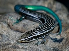 Gran Canaria Skink (Chalcides sexlineatus) - endemic to Gran Canaria, in the Canary Islands, Atlantic Ocean. Cute Reptiles, Reptiles And Amphibians, Mammals, Beautiful Creatures, Animals Beautiful, Cute Animals, Crocodile Skink, Small Lizards, Blue Lizard
