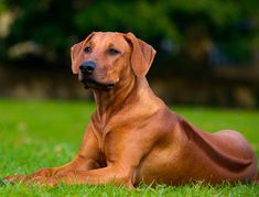 rhodesian-ridgeback: Loyal, mischievous, dignified, intelligent, sensitive, strong-willed
