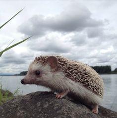 I think a hedgehog?