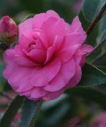 Chansonette Camellia (Camellia sasanqua 'Chansonette') - Monrovia - Chansonette Camellia (Camellia sasanqua 'Chansonette')