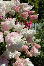 Oh my goodness, it& been a crazy summer! I am excited to share with you this weeks garden photo& The Vanilla Strawberry Hydrangeas ar. Hortensia Hydrangea, Hydrangea Paniculata, Hydrangea Garden, Garden Shrubs, Garden Plants, Amazing Flowers, Beautiful Flowers, Vanilla Strawberry Hydrangea, Garden Cottage