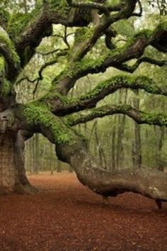 Angel Oak Park, Johns Island.....one of America's oldest living trees