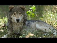 Groups Prepare Mexican Gray Wolves for Release