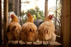 Chicken poop gutter system - save yourself a LOT of time and energy cleaning up after your chickies...