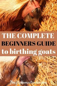 How To Raise Goats: Natural Goat Care for Meat, Milk and Profits in Your Backyard - Tools And Tricks Club Breeding Goats, Goat Shelter, Raising Goats, Raising Kids, Goat Barn, Nigerian Dwarf Goats, Goat Farming, Baby Goats, Backyard Farming