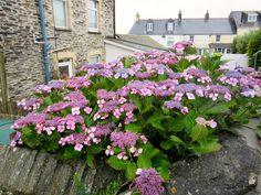 PORT ISAAC: Hydrangeas in Cornwall https://destinationfiction.blogspot.ca/2016/10/doc-martins-port-isaac.html