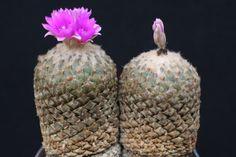 Pelecyphora strobiliformis - Google'da Ara