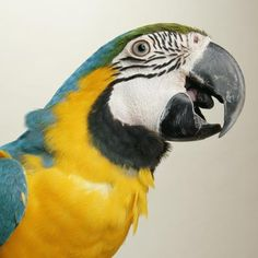 Macaws as Pets - Personality and Profile
