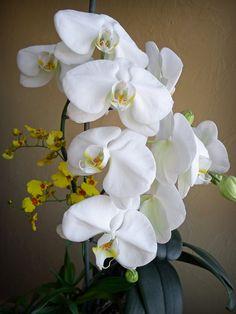 Phalaenopsis+