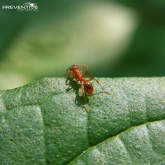 The issue with ants is the sheer number of them in a colony. Usually if you see one youre going to see a lot really soon.  Call us today to fix your ant problem! 615-850-4351  #PreventivePestTennessee #PestControl #Ants