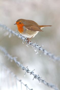 Winter Robin on a frosty wire fence - by Simon Roy