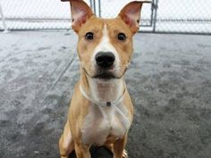 TO BE DESTROYED - 01/23/15 TO BE DESTROYED - 01/18/15 TO BE DESTROYED: 1/17/2015 Manhattan Center -P ~~PUPPY ALERT!!~~ My name is TUNGSTEN. My Animal ID # is A1024789. I am a male tan and white am pit bull ter mix. The shelter thinks I am about 10 MONTHS old. I came in the shelter as a STRAY on 01/05/2015 from NY 10029, owner surrender reason stated was STRAY. https://www.facebook.com/Urgentdeathrowdogs/photos/a.611290788883804.1073741851.152876678058553/939079692771577/?type=3&theater