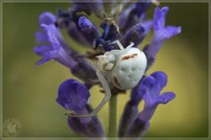 Krabspin op lavendel