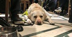 kika chien labrador guide aveugle amit patel