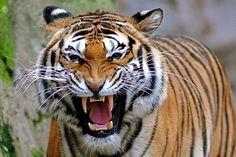 Când tigrul rămâne singur, hienele urlă vitejeşte