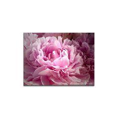 Blumenbild auf Leinwand, Fototapete oder Kunstdruck:  Rosa Pfingstrose