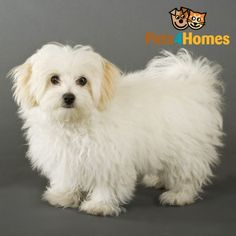 Bichon Frise Puppies and Dogs for Sale | Breed Information at Pets4Homes