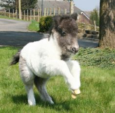 fluffy pony foal